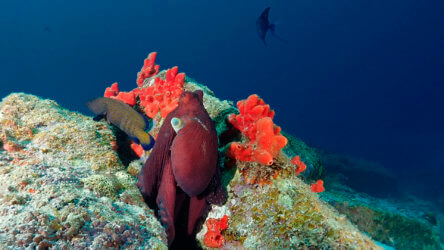 reef octopus on the racha yai and racha noi scuba diving tour