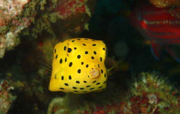 the intoxicating yellow boxfish