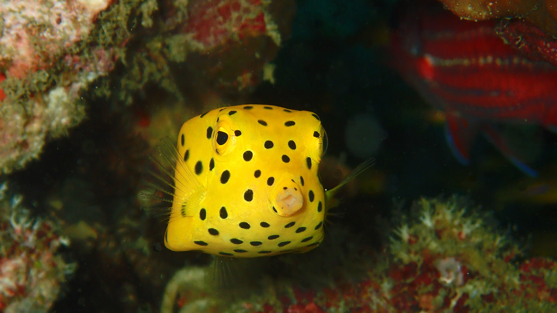 Yellow Boxfish – Toxic And Inspiring?