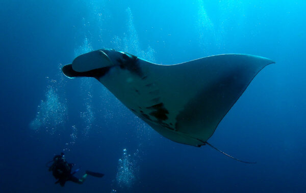 giant manta ray in thailand