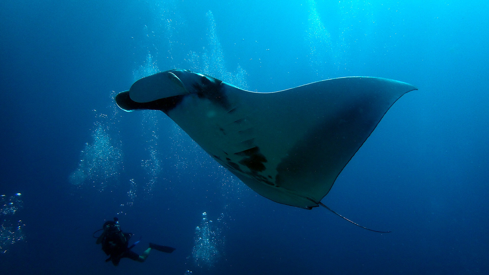 Giant Manta Rays In Thailand