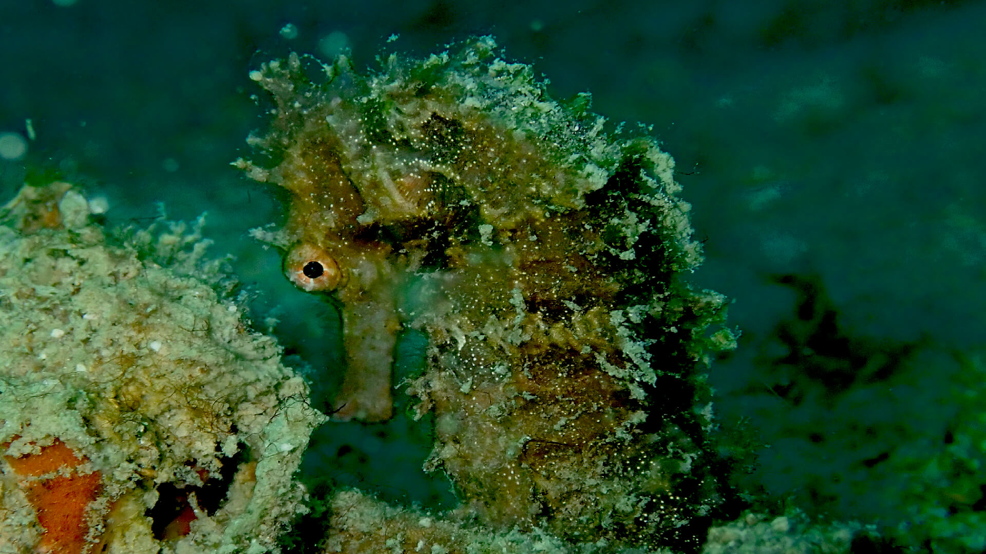 hedgehog seahorses in phuket