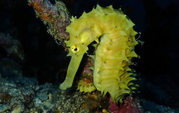 thorny seahorses in phuket