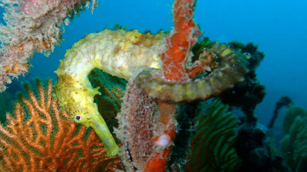 tigertail seahorse