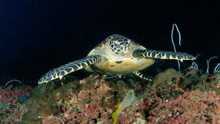 a hawksbill turtle in phuket