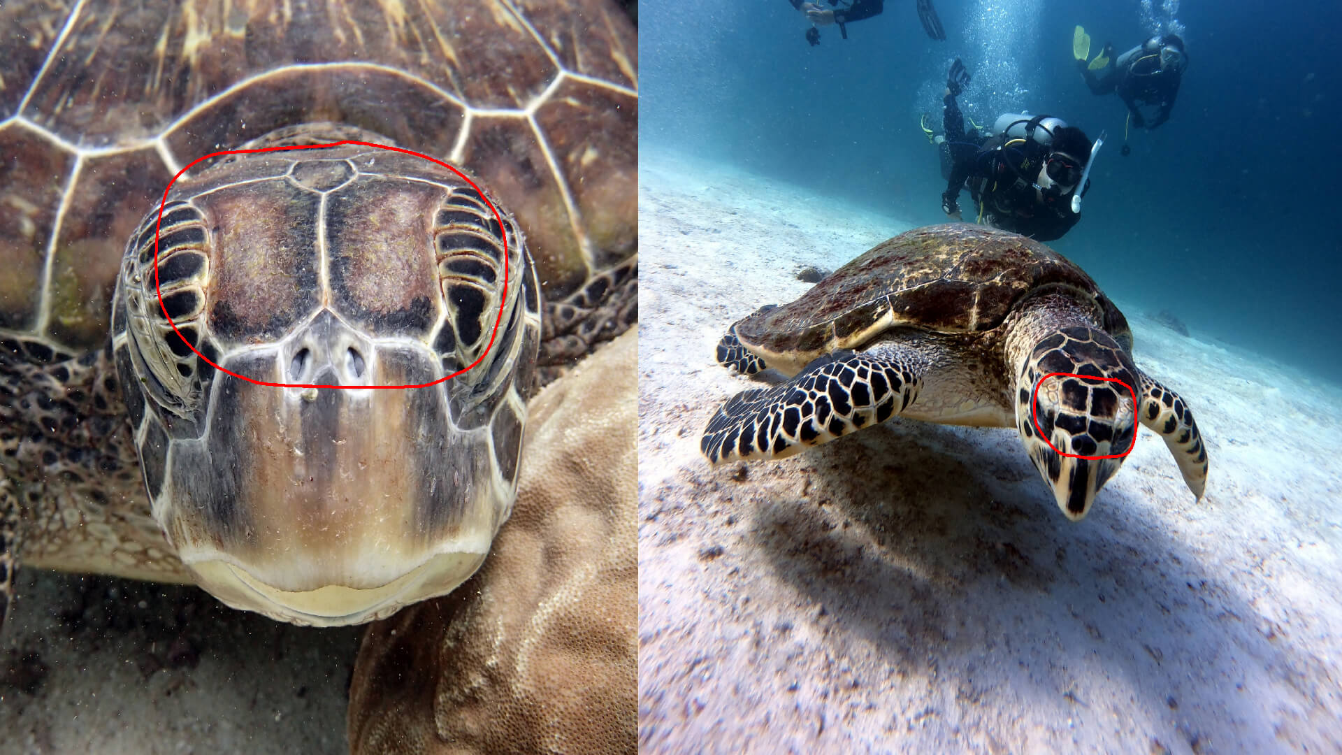 the difference between green and hawksbill turtles