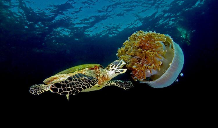hawksbill turtle feeding on jellyfish