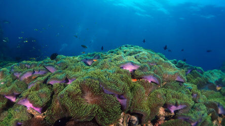 anemone reef phuket