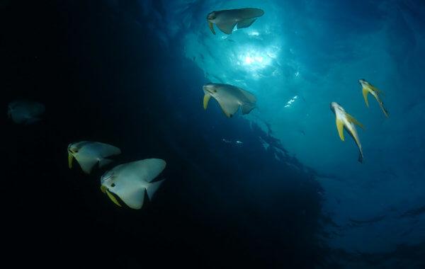 batfish dont care about phuket covid 19