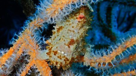 freckled frogfish at koh doc mai
