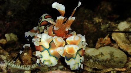 harlequin shrimp are without question the most beautiful crustacean