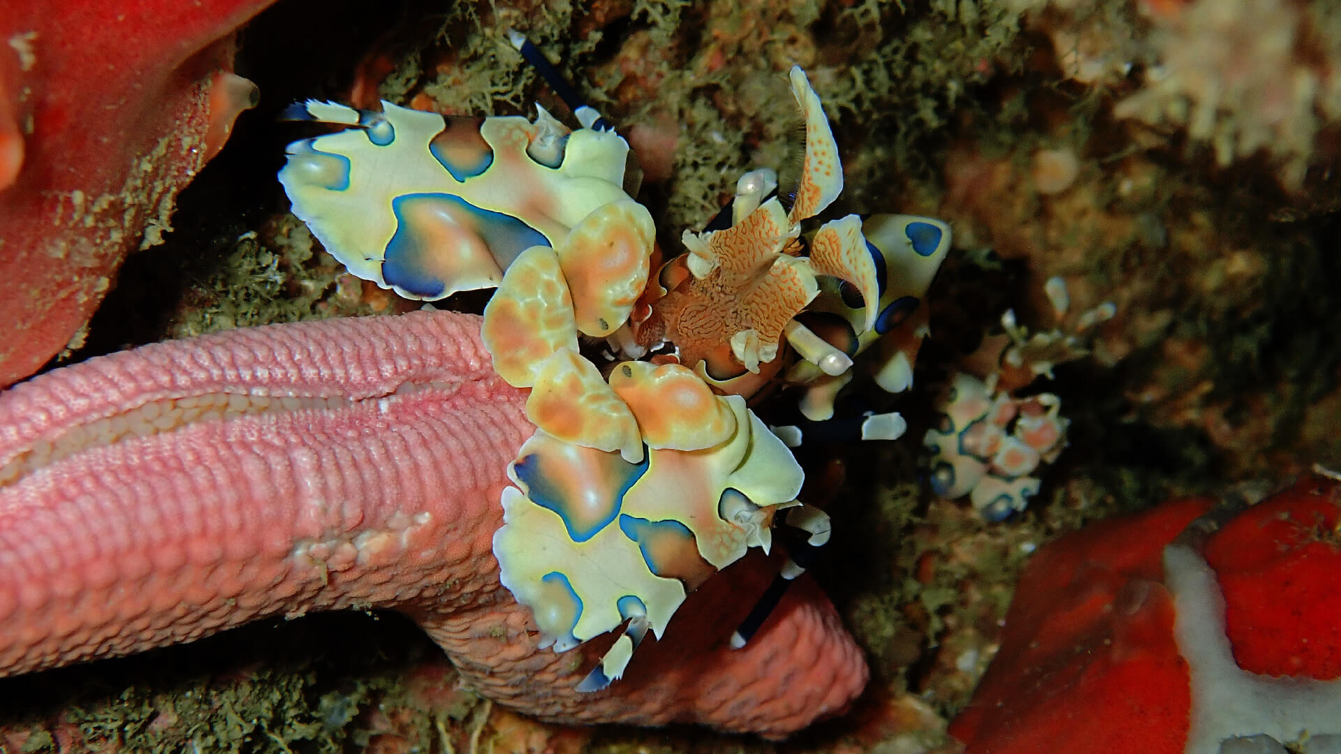 harlequin shrimp feeding on the severed leg of a large starfish
