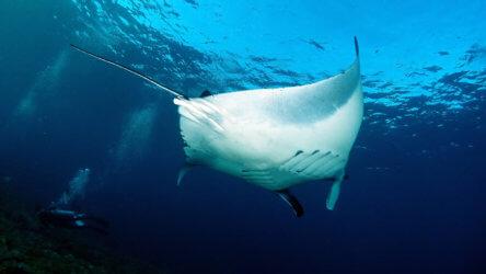 manta ray in the southern andamans at hin daeng