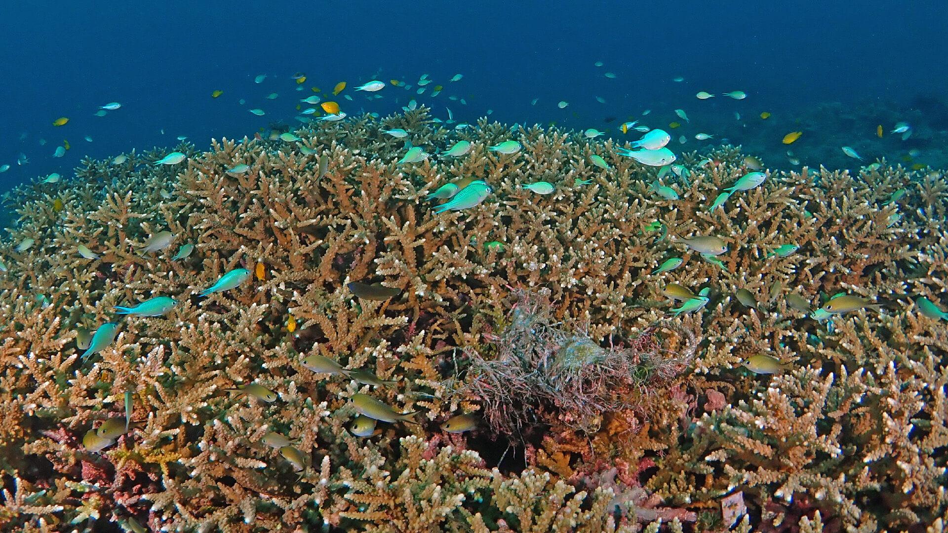 healthy staghorn coral racha noi