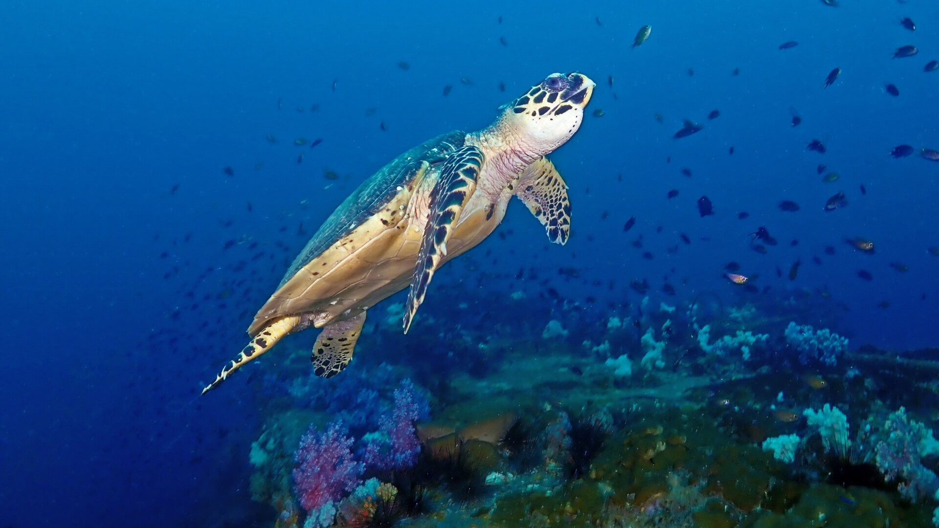 hawksbill turtle ascending from the king cruiser wreck
